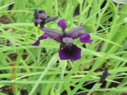 Iris  chryosraphes Black Form