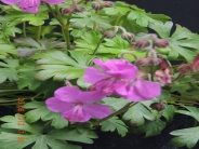 Geranium west way