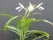 Roscoea Monique