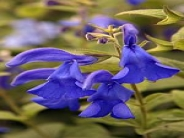 Salvia patens Deep Blue