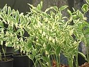 polygonatum verticillatum rubrum