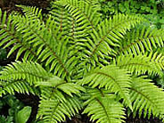 Ferns from Barracott Plants